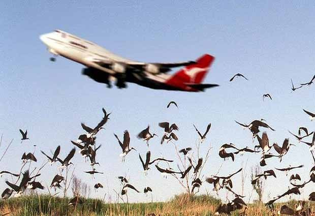 Ilustrasi burung tabrak pesawat
