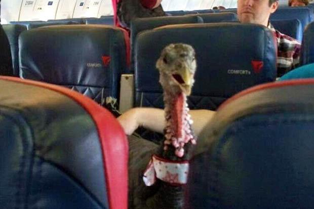 bawa kalkun ke kabin pesawat